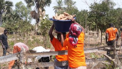 Harvesting cassava nearby Aspuna Gambia's agri-processing plant